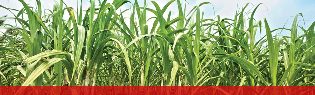 Environment friendly Sugarcane cultivation